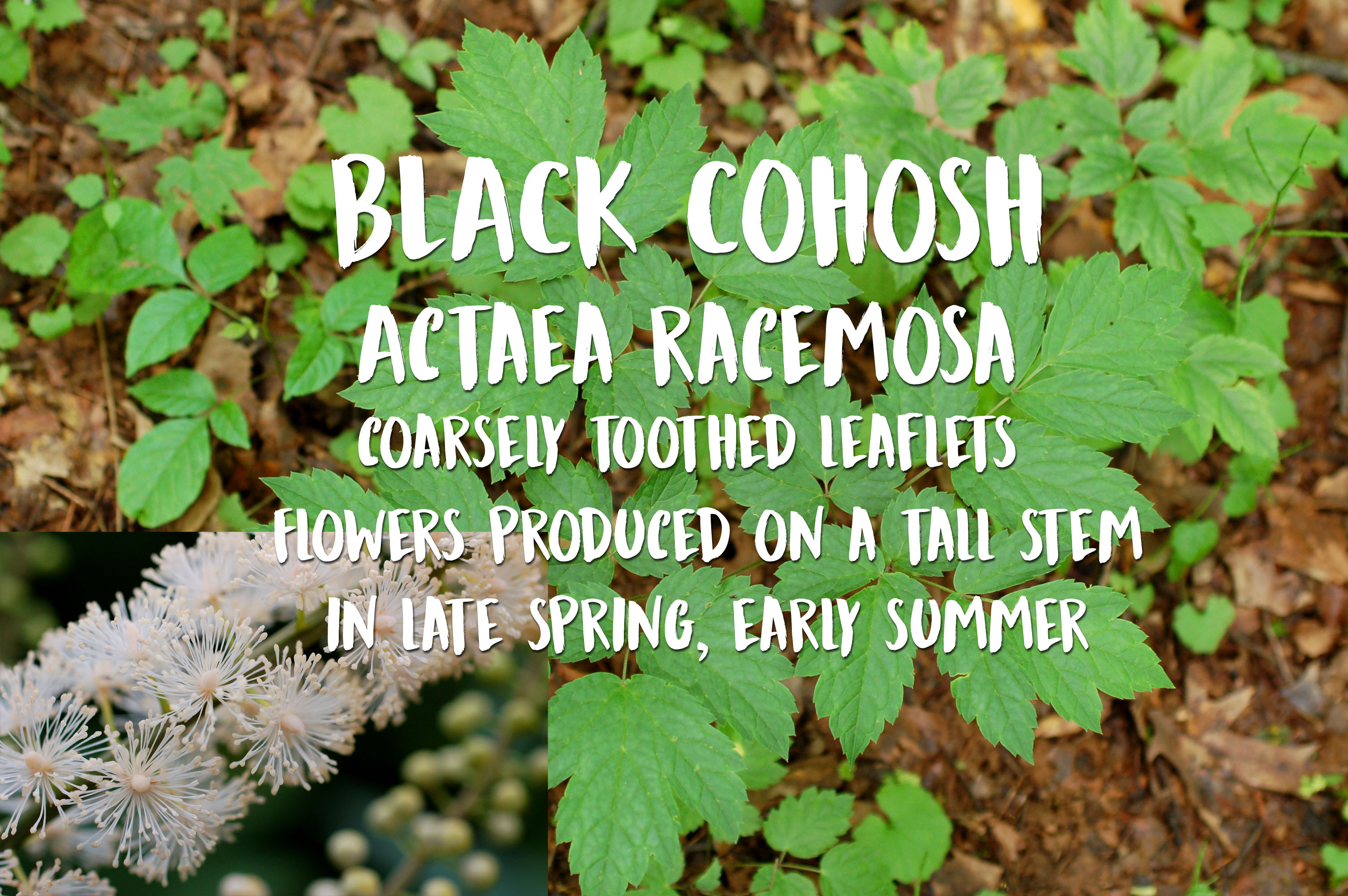 Photo of Black Cohosh