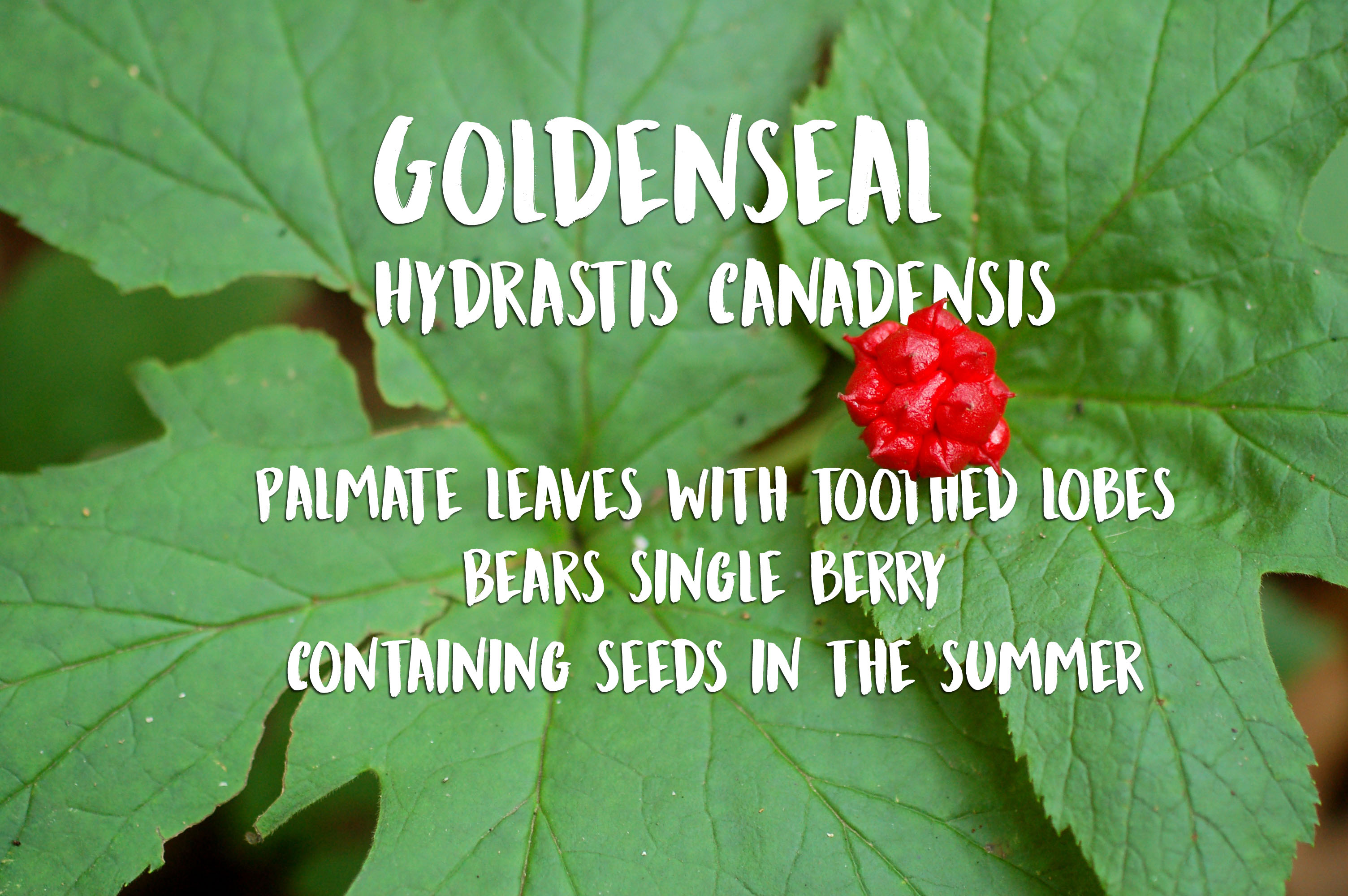 Photo of Goldenseal